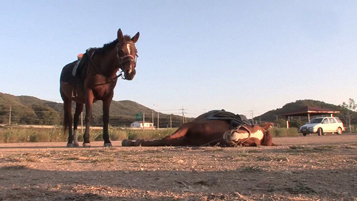 Vídeo viral mostra cavalo que se finge de morto quando tentam montá-lo