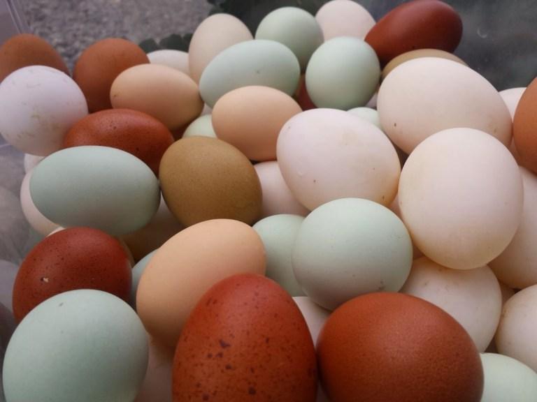 Por que ovos têm cores diferentes?