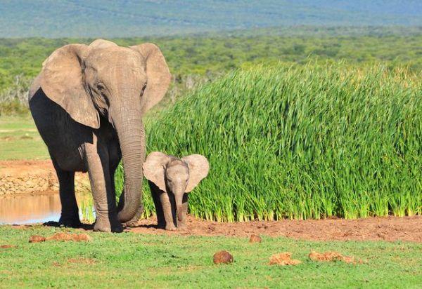 Elefantes 600x412, Fatos Desconhecidos