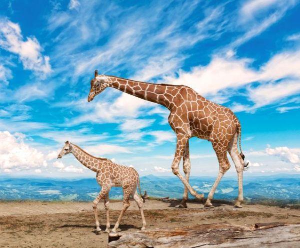 Girafas 600x495, Fatos Desconhecidos