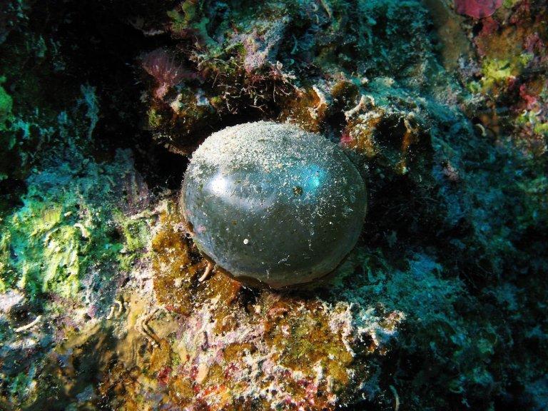 Esse estranho globo é um dos maiores organismos unicelulares que existe