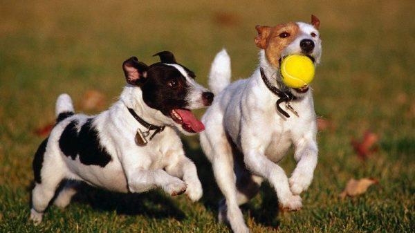 Dogs Playing 600x337, Fatos Desconhecidos