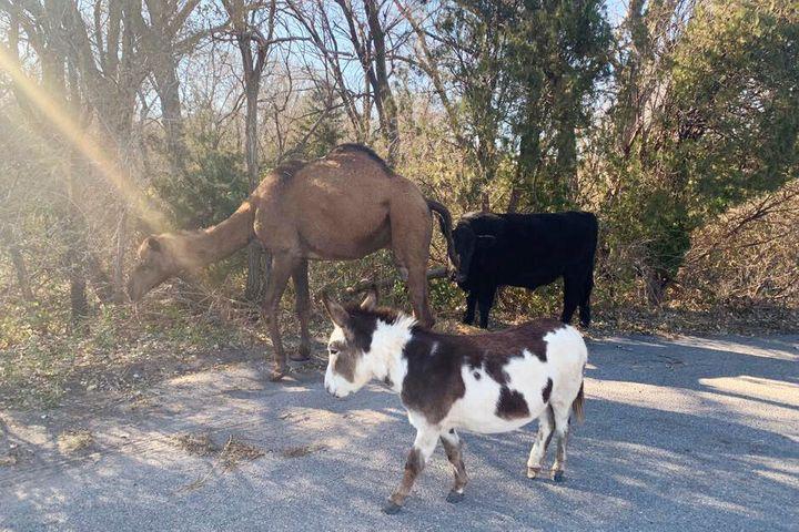 A amizade entre um camelo, uma vaca e um burro é a mais incrível que você vai conhecer
