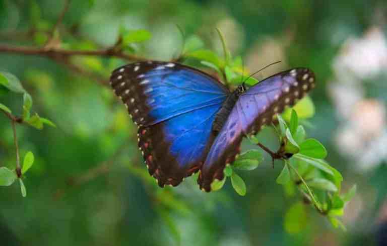 Por que as borboletas não conseguem voar em linha reta?