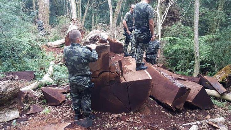 Árvore de 535 anos foi derrubada para virar cerca em Santa Catarina