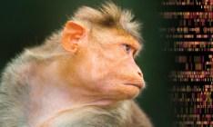 Cientistas colocaram gene da inteligência humana em macaco