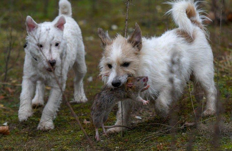 Você não vai acreditar quantos ratos um grupo de 8 cães eliminou de uma vez
