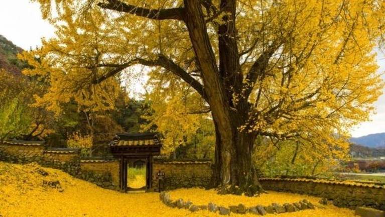 Você conhece a espécie de Árvore 'Imortal'?