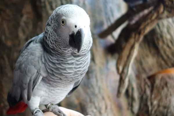 This Image Shows An African Grey Parrot Lizzy At Loro Parque In Tenerife Credit Anette Mertens 600x400, Fatos Desconhecidos