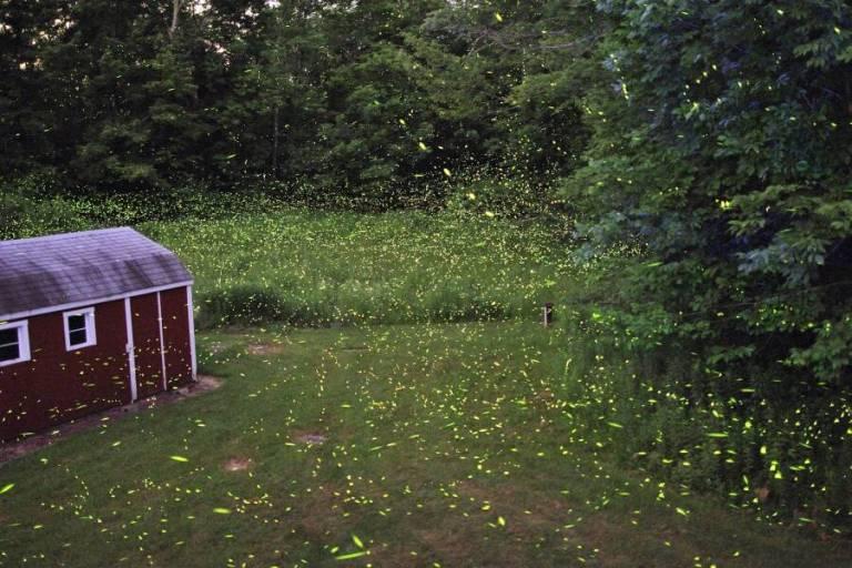 Vaga-lumes enfrentam extinção devido à perda de habitat, pesticidas e poluição luminosa