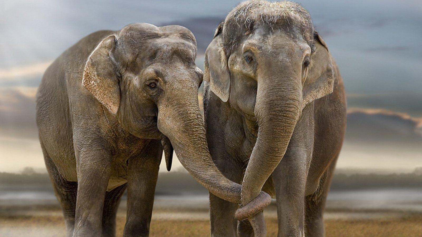 Estudo investiga, pela primeira vez, como os elefantes lidam com os mortos