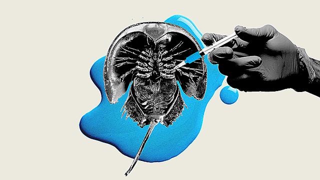 Sangue azul de caranguejo salva milhões de vidas