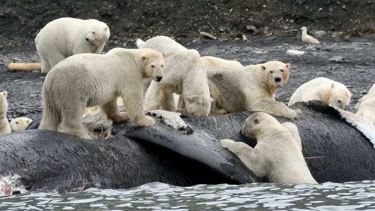 Entenda porque os ursos polares estão sendo forçados a praticar canibalismo