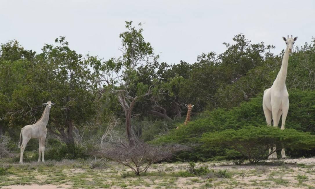 Caçador mata 2 das 3 últimas girafas brancas do mundo e mostra que é menos racional que os bichos