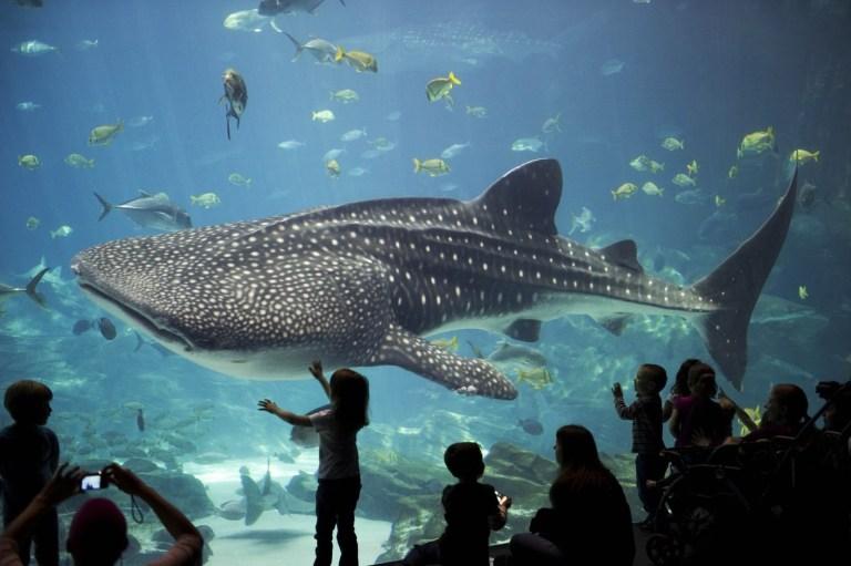 Testes de bombas da Guerra Fria revelam idade de tubarões-baleia