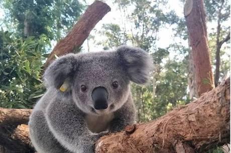 Por que os coalas lambem as árvores?