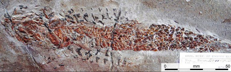 Fóssil preservou um ataque de lula de 200 milhões de anos atrás