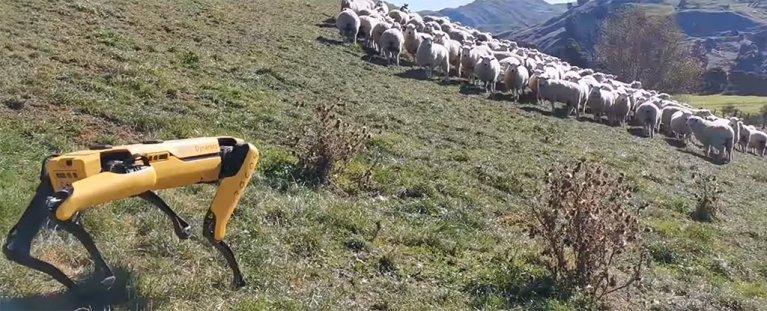 Vídeo mostra cão robô pastoreando ovelhas