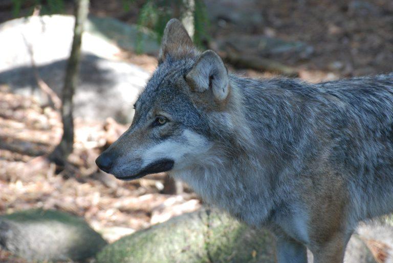 Lobo cinzento é visto pela primeira vez na Normandia em 100 anos