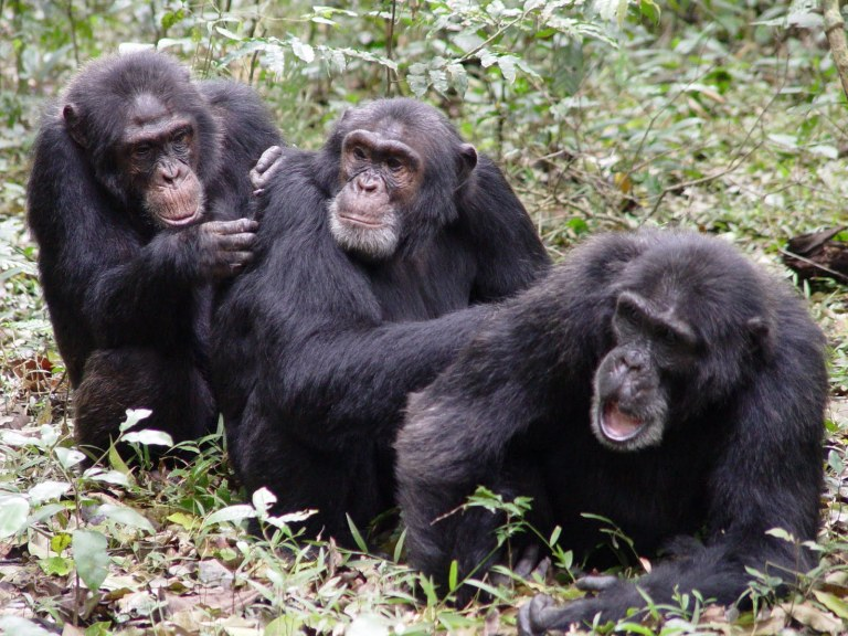Osso misterioso no coração de alguns chimpanzés trouxe grandes questões