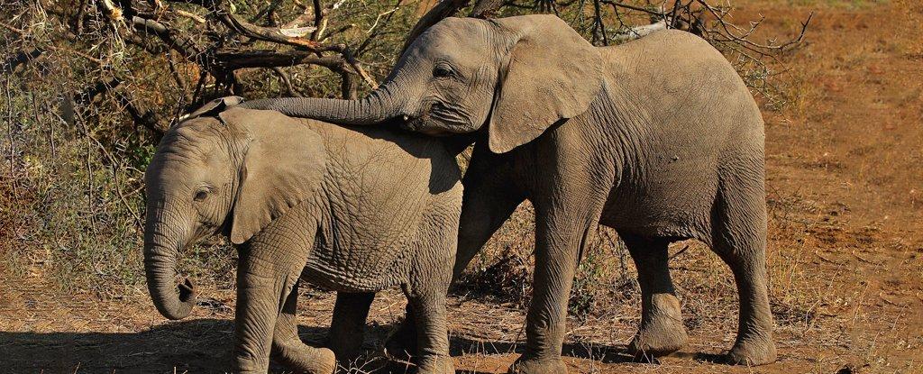 Centenas de elefantes morreram em Botsuana e não se sabe o motivo