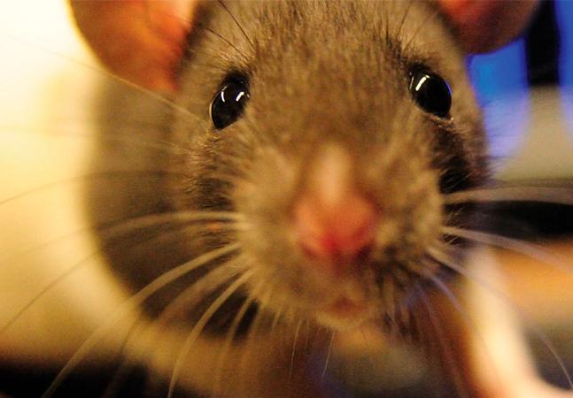Cientistas conseguiram devolver a visão a ratos cegos sem cirurgia e podem dar esperanças para humanos