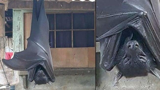 Conheça o morcego que pode ter o tamanho de um ser humano