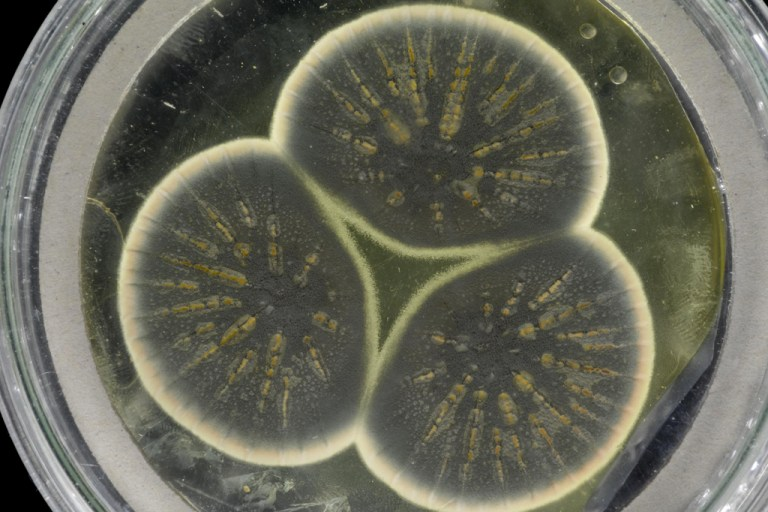 Genoma do fungo que nos deu a penicilina foi finalmente sequenciado