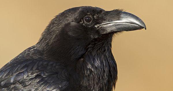 Cientistas mostram que corvos são capazes de pensar conscientemente