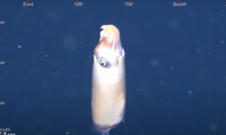 Primeira filmagem de lula bizarra está intrigando os cientistas