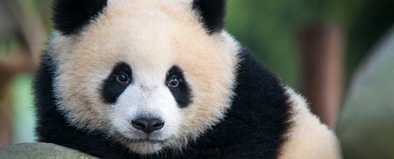 Pandas selvagens foram filmados pela primeira vez acasalando. E não é uma coisa bonita