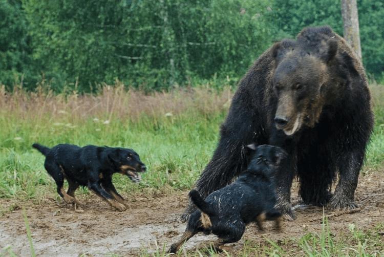 Jagdterrier, a poderosa raça alemã de cães caçadores