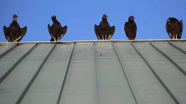 Centenas de abutres-negros invadem pequena cidade da Pensilvânia