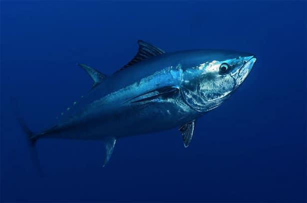 Conheça o peixe mais caro do mundo