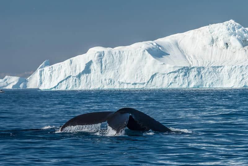 Depois de 40 anos, baleias estão voltando para as regiões polares do planeta