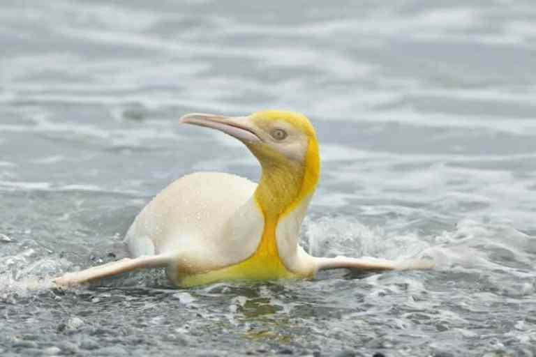 Fotógrafo conseguiu foto de pinguim amarelo nunca visto antes