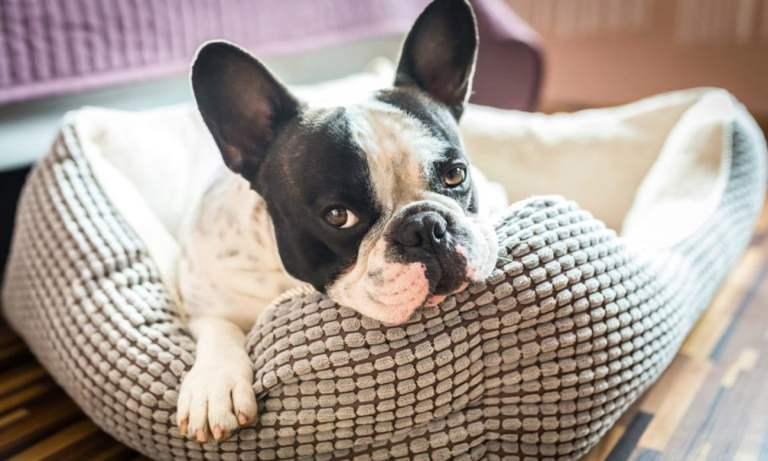 Por que os cachorros arranham as caminhas antes de deitar?
