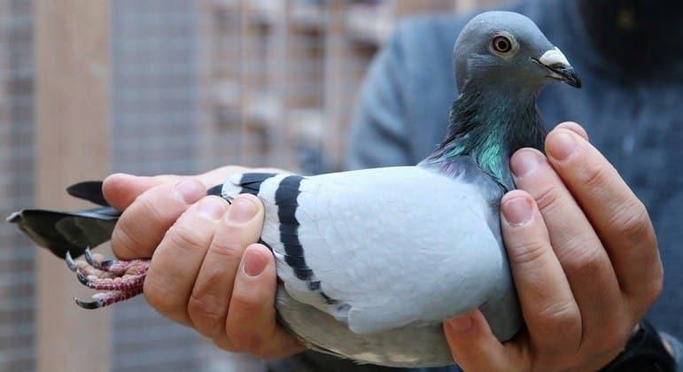 Autoridades da Austrália querem sacrificar pombo que viajou sozinho dos EUA a Melbourne