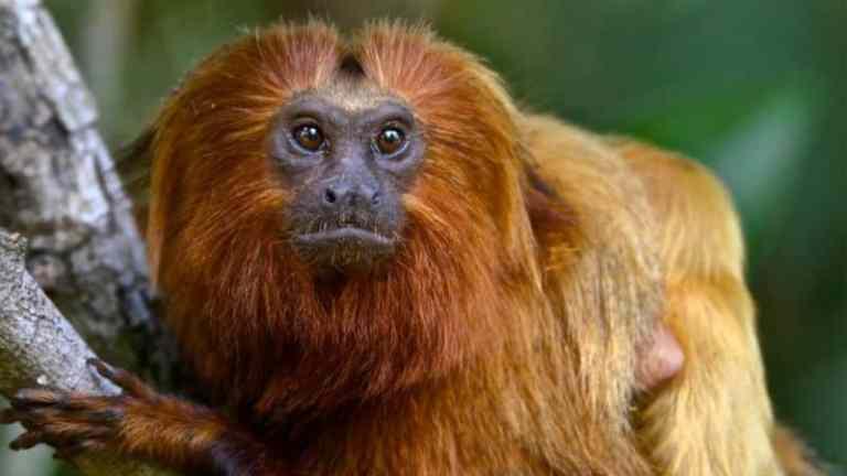 Por que risco de febre amarela aumenta no Brasil e o que macacos têm a ver com isso
