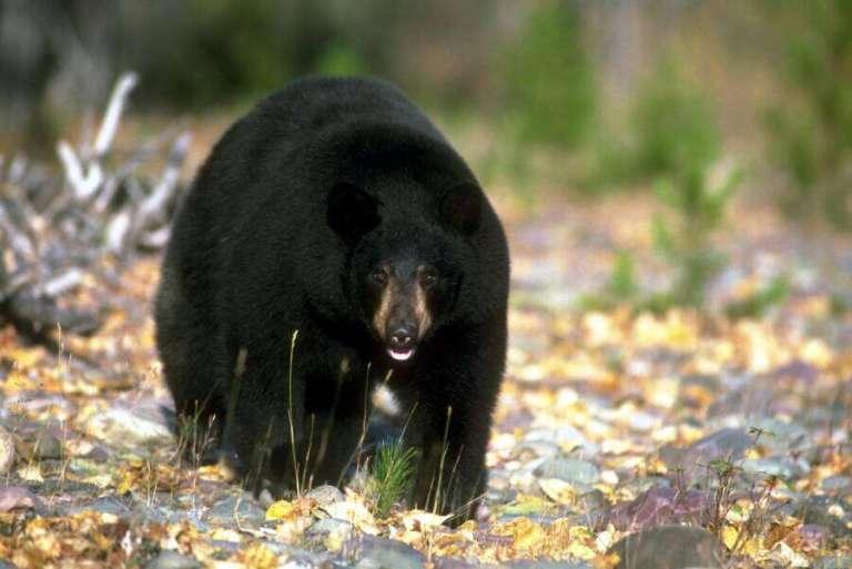 Vírus provoca mudança de comportamento nos ursos da Califórnia, EUA