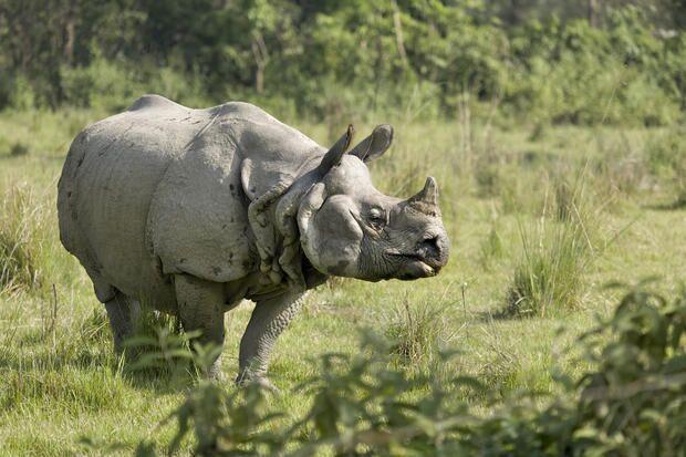 População de rinocerontes do Nepal cresce graças à pandemia
