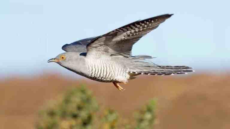 A história do pássaro cuco que cruzou o Saara 10 vezes em 5 anos