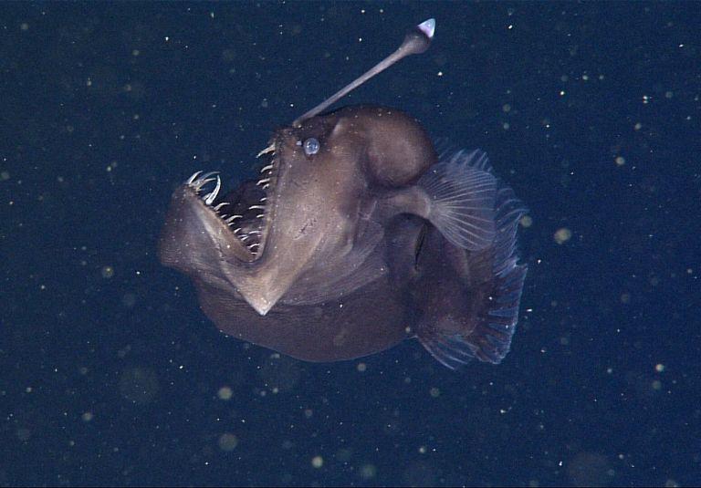 Conheça o tamboril, o peixe mais estranho do planeta