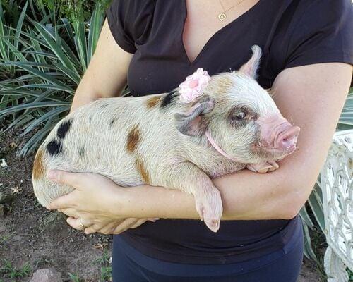 Chinesa compra mini porco e dias depois fica chocada com o tamanho do animal
