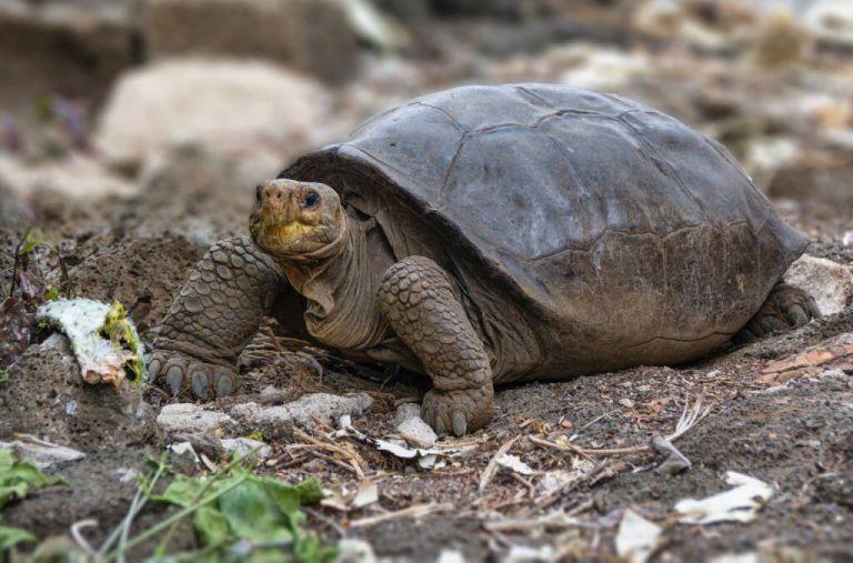 Tartaruga que se pensava estar extinta há 100 anos foi encontrada em Galápagos