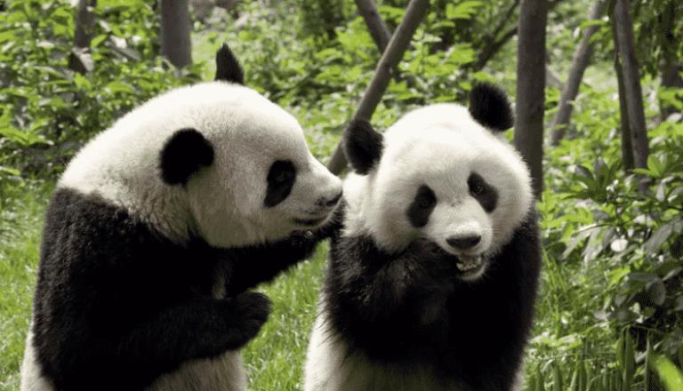 Panda gigante não é mais considerado extinto na China