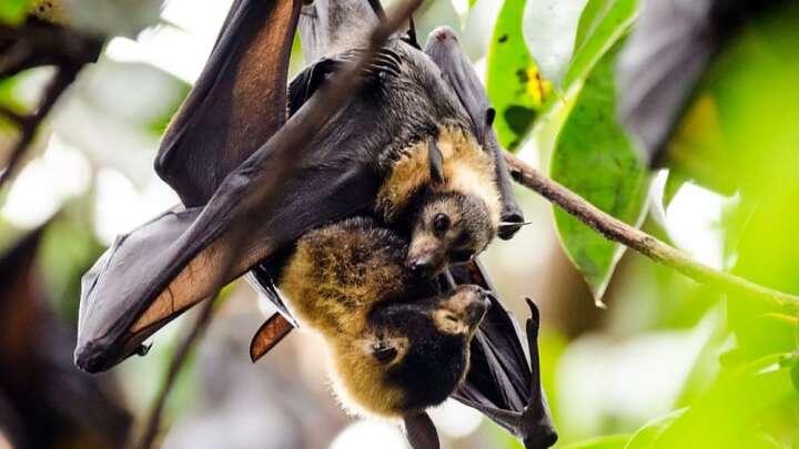 Morcego3 720x405, Fatos Desconhecidos
