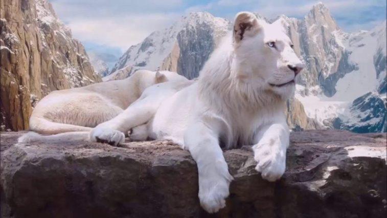 Leões brancos são raríssimos e existem apenas 12 em liberdade na África do Sul fatos e eventos (6)