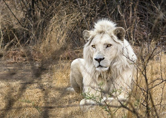 Leões brancos são raríssimos e existem apenas 12 em liberdade na África do Sul fatos e eventos