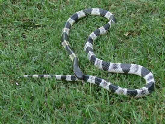 Cobras venenosas nova odessa fatos e eventos (5)